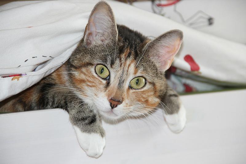 Ágymelegítő macska