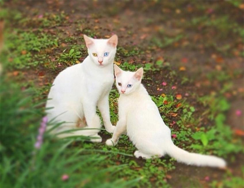 Fehér macskák
