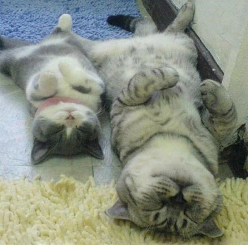 Hanyatt fekvő macskák
