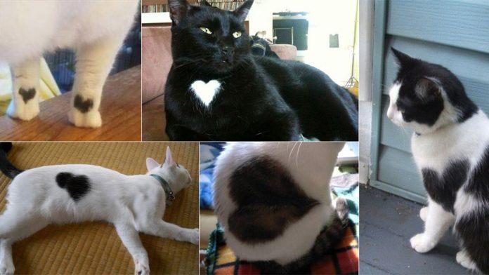 Macskák szív mintával
